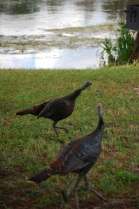 A flock of wild turkeys dropped by...
