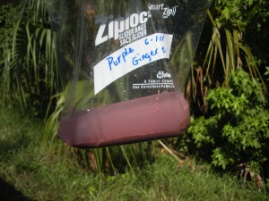 A sample of purple bacteria from the outflow at Ginger Ale Spring